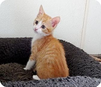 Domestic Shorthair Kitten for adoption in Lathrop, California - Cheeto