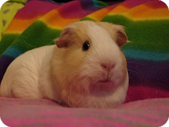 Guinea Pig for adoption in Coral Springs, Florida - Sugar