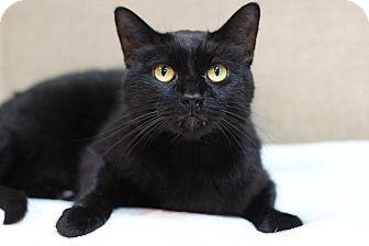 Domestic Shorthair Cat for adoption in Midland, Michigan - Cuddles