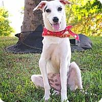 Adopt A Pet :: Ammy - San Mateo, CA