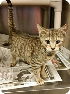 Domestic Mediumhair Kitten for adoption in Louisville, Kentucky - Claire