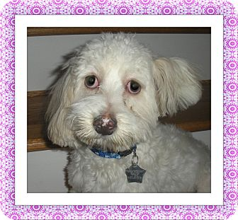 Bichon Frise Dog for adoption in Tulsa, Oklahoma - Joy - IL