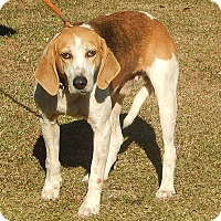 Hound (Unknown Type) Mix Dog for adoption in Newport, North Carolina - Walker