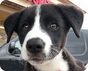 Border Collie/Labrador Retriever Mix Puppy for adoption in Houston, Texas - Katy