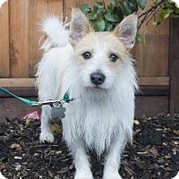 Adopt A Pet :: Chaplin - Las Vegas, NV