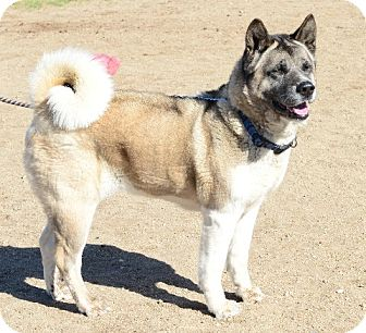 Akita Dog for adoption in Gardnerville, Nevada - Maori