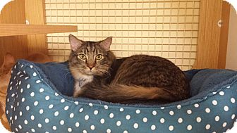 Domestic Shorthair Cat for adoption in Edmond, Oklahoma - Polka Dot
