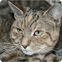 Adopt A Pet :: Tabby - Frederick, MD
