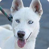 Adopt A Pet :: Sierra - Canoga Park, CA