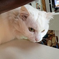 Adopt A Pet :: Unusual White Maine Coon Mix Pigean - Brooklyn, NY