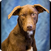 Adopt A Pet :: Percy - Wickenburg, AZ