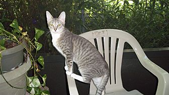 Domestic Shorthair Cat for adoption in Fort Pierce, Florida - Sparkle