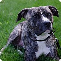 Adopt A Pet :: Bruno - Woodbridge, CT