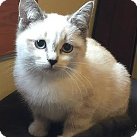 Adopt A Pet :: Cupid-Adoption Pending! - Arlington, VA