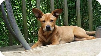 Labrador Retriever/Corgi Mix Puppy for adoption in greenville, South Carolina - Sebastian