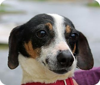 Jack Russell Terrier/Chihuahua Mix Dog for adoption in Asheville, North Carolina - Al