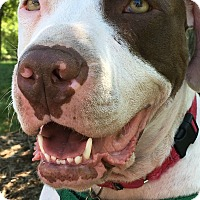 Adopt A Pet :: Pip - Northville, MI