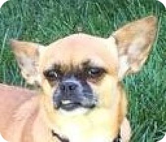 Chihuahua/Pug Mix Dog for adoption in Lexington, Kentucky - Gidget