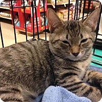 Adopt A Pet :: Bellamy - Ephrata, PA