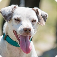Fox Terrier (Smooth) Mix Dog for adoption in La Jolla, California - Alex