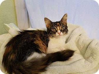 Domestic Mediumhair Kitten for adoption in Alamo, California - MSF5