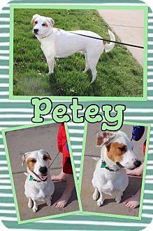 Pointer/Border Collie Mix Dog for adoption in Mauston, Wisconsin - Petey