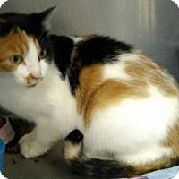 Calico Cat for adoption in Sauk Rapids, Minnesota - Blackberry
