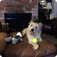 Westie, West Highland White Terrier/Silky Terrier Mix Dog for adoption in Houston, Texas - Scruffy