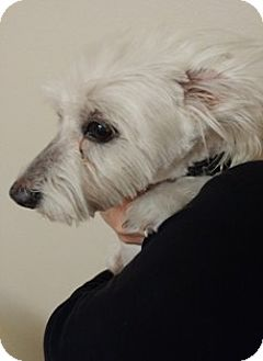 Maltese Mix Dog for adoption in Dallas, Texas - LITTLE DUDE
