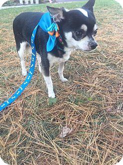 Chihuahua Dog for adoption in Bridgewater, New Jersey - Chocco