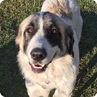 Adopt A Pet :: Sara - Irmo, SC