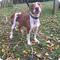 Adopt A Pet :: Ginger ADOPTION PENDING - Waldorf, MD