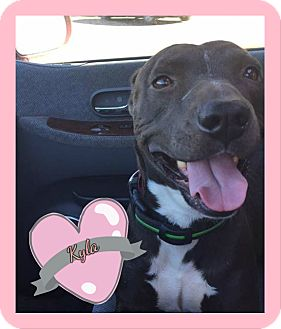 American Pit Bull Terrier Mix Dog for adoption in Des Moines, Iowa - Kyla