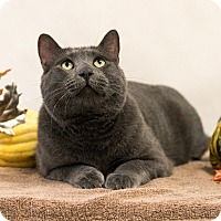 Domestic Shorthair Cat for adoption in Houston, Texas - Earl