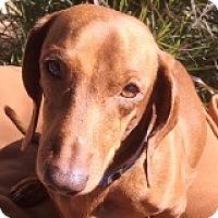Adopt A Pet :: Wilbur Wright - Houston, TX