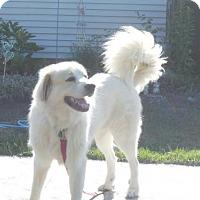 Great Pyrenees Dog for adoption in Tonawanda, New York - Houdini