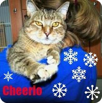Domestic Shorthair Cat for adoption in Manchester, New Hampshire - Cheerio;I love to watch snow!