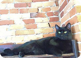 Domestic Shorthair Cat for adoption in New York, New York - Midnight