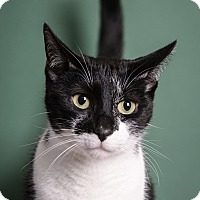Domestic Shorthair Cat for adoption in Whitehall, Pennsylvania - Sneakers