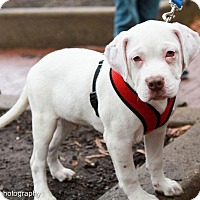 Boxer Mix Puppy for adoption in Washington, D.C. - Leaf