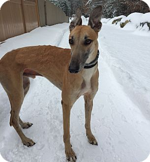 Greyhound Dog for adoption in Swanzey, New Hampshire - Maverick