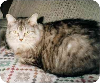 Domestic Longhair Cat for adoption in Toronto, Ontario - Sophie