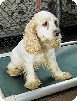 Cocker Spaniel Dog for adoption in New York, New York - LuLu