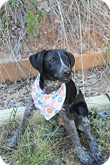 Catahoula Leopard Dog Mix Puppy for adoption in Fort Worth, Texas - Blu