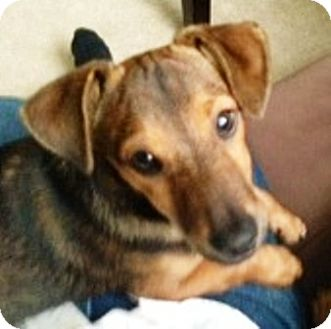 Dachshund Puppy for adoption in Oswego, Illinois - I'M ADOPTED Cigar