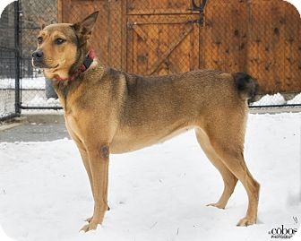 Labrador Retriever/German Shepherd Dog Mix Dog for adoption in Brooklyn, New York - Amazing Zoey