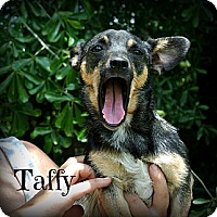 Adopt A Pet :: Taffy - Vancleave, MS