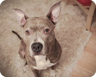 Pit Bull Terrier/American Staffordshire Terrier Mix Dog for adoption in Chicago, Illinois - Sophie