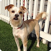 Cairn Terrier/Border Terrier Mix Dog for adoption in Santa Ana, California - Roger