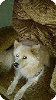 American Eskimo Dog Dog for adoption in Mooresville, North Carolina - Kody of  Waynesville, NC
